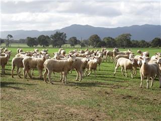 180 SIL Ewe Lambs