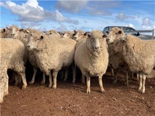 102 SIL Ewes