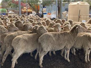 141 SIL Ewes