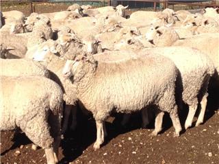 139 SIL Ewe Lambs