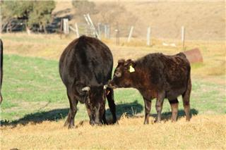 6 Station Mated Cows & 3 Calves