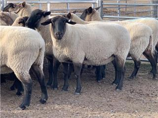 25 Station Mated Ewes