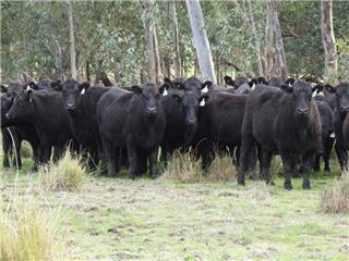 26 PTIC Heifers