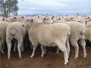 116 SIL Ewes