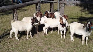 9 Goats - Bucks