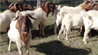 14 Goats - Bucks