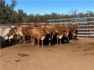 36 PTIC Cows