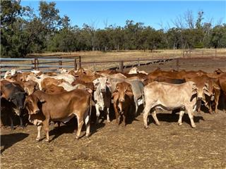 48 PTIC Cows