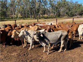 46 PTIC Cows