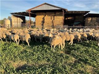 136 SIL Ewes