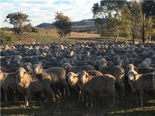 475 Woolgrower Wether Lambs