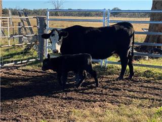 10 NSM Heifers & 10 Calves