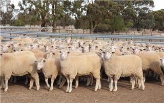 404 SIL Ewe Lambs