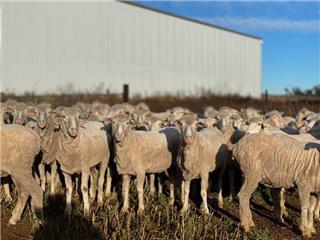 214 SIL Ewes