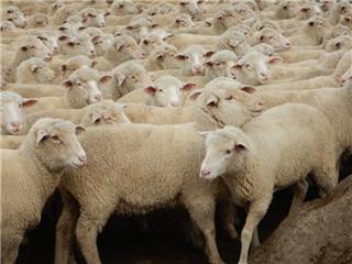 229 SIL Ewe Lambs