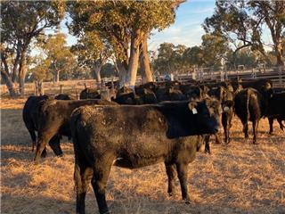40 PTIC Heifers