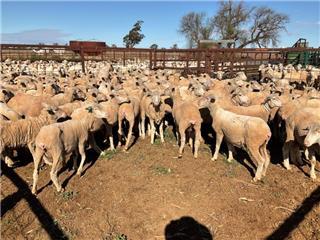 197 SIL Ewes