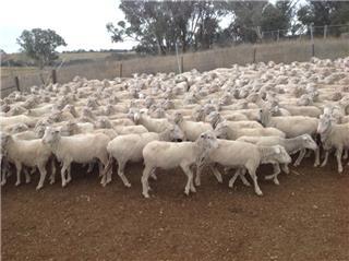 375 SIL Ewes