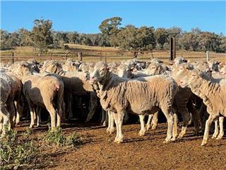 301 SIL Ewes