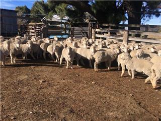 66 SIL Ewes