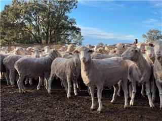 163 SIL Ewes