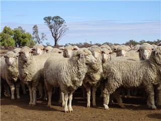 450 Future Breeder Ewe Hoggets