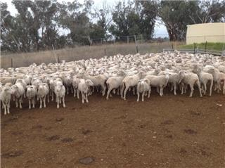 237 Ewes & 241 Lambs
