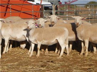 28 Ewes