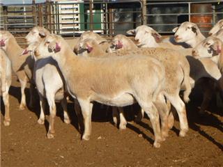 44 Ewes