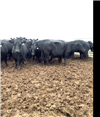 57 PTIC Cows