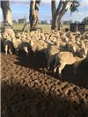 140 NSM Ewes