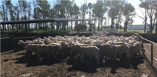 94 SIL Ewes