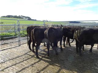 8 PTIC Heifers