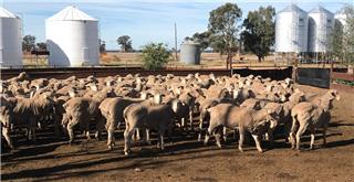 181 SIL Ewes