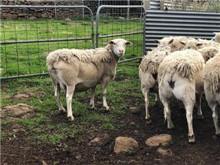 24 Station Mated Ewes