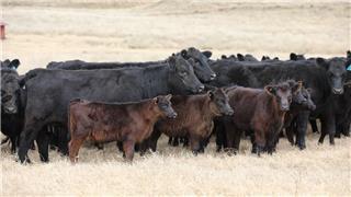 53 NSM Heifers & 53 Calves