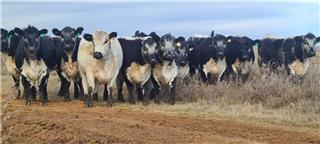 12 PTIC Heifers
