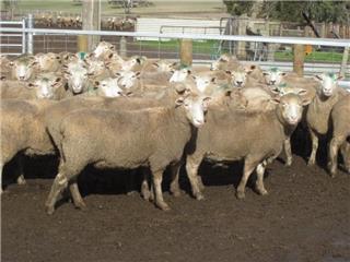 70 SIL Ewes