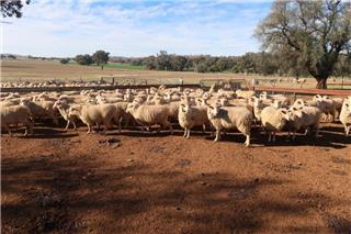 195 Scanned Empty Ewes