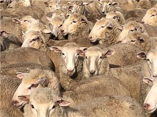 155 Scanned Empty Ewe Lambs