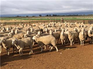 160 Scanned Empty Ewe Lambs