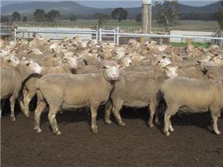 147 SIL Ewes