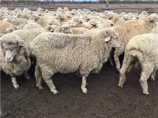 134 SIL Ewes