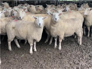 130 Scanned Empty Ewes