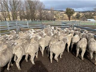348 SIL Ewes