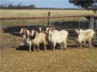 10 Goats - Bucks