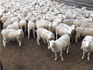 171 SIL Ewes
