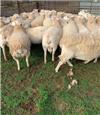 59 SIL Ewes