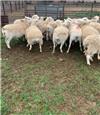 25 SIL Ewes