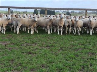 99 SIL Ewe Lambs